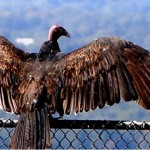 Turkey vulture perched on clubhouse fencing