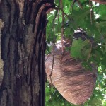 Large Hornet Nest