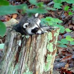 Raccoon in stump